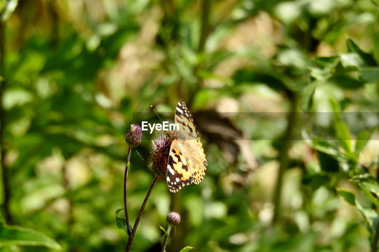 plant, animal, animal themes, animals in the wild, invertebrate, insect, focus on foreground, one animal, animal wildlife, flower, growth, day, beauty in nature, nature, flowering plant, close-up, no people, fragility, animal wing, selective focus, outdoors, butterfly - insect, pollination, butterfly