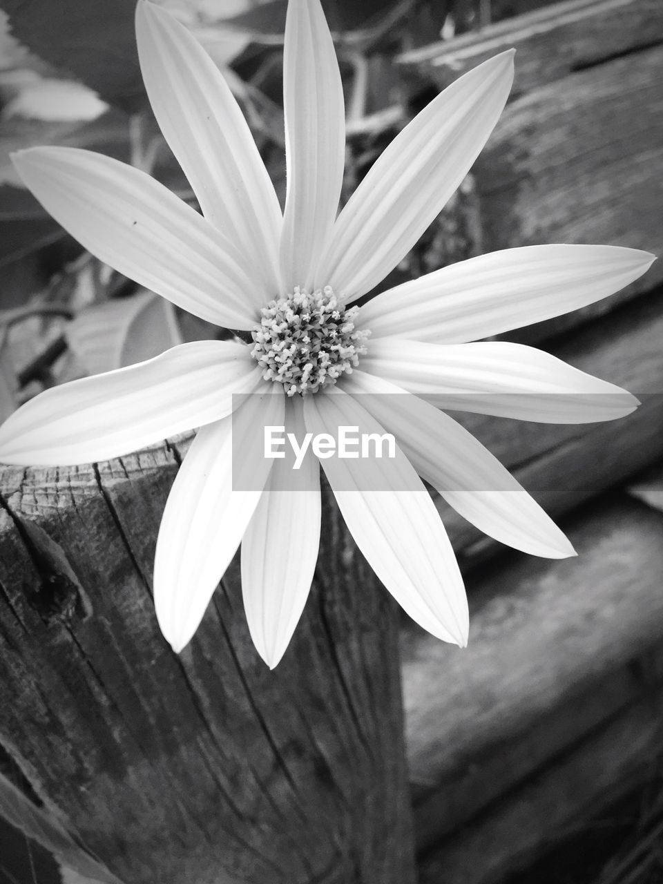 flower, petal, flower head, fragility, freshness, nature, pollen, beauty in nature, blooming, no people, close-up, osteospermum, day, outdoors, growth