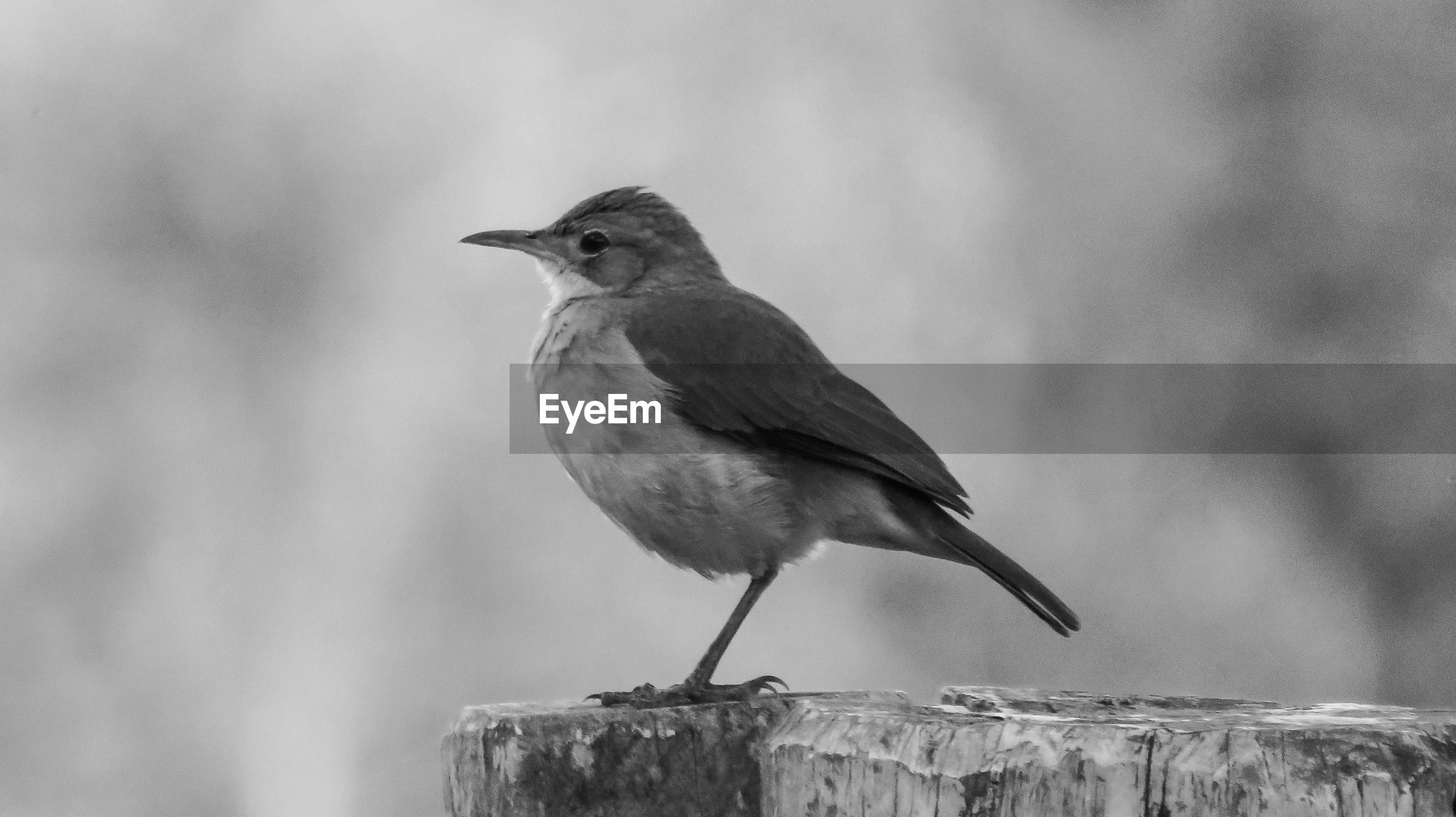 SIDE VIEW OF BIRD PERCHING ON WOODEN POST
