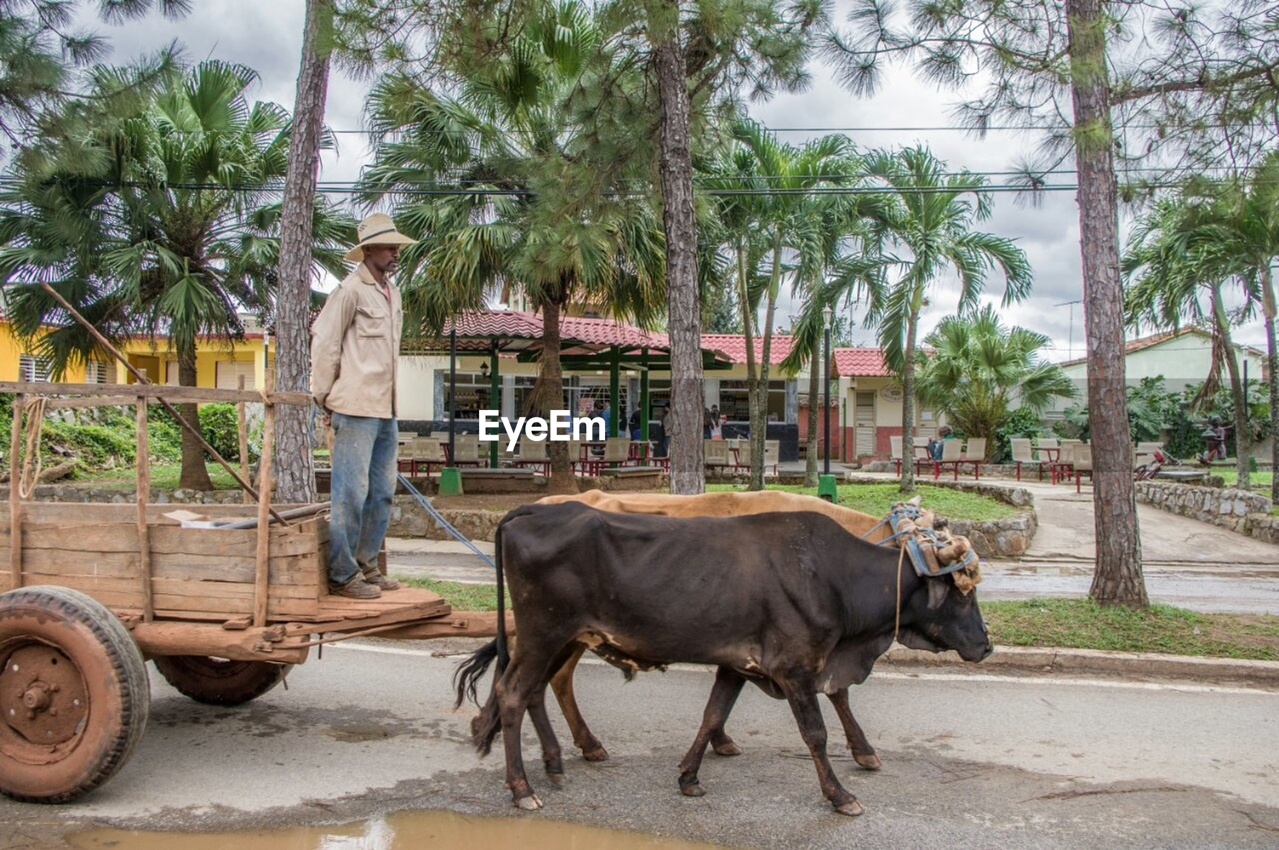 animal themes, domestic animals, mammal, one animal, tree, livestock, horse, building exterior, transportation, built structure, working animal, architecture, two animals, street, land vehicle, mode of transport, standing, road, car, herbivorous