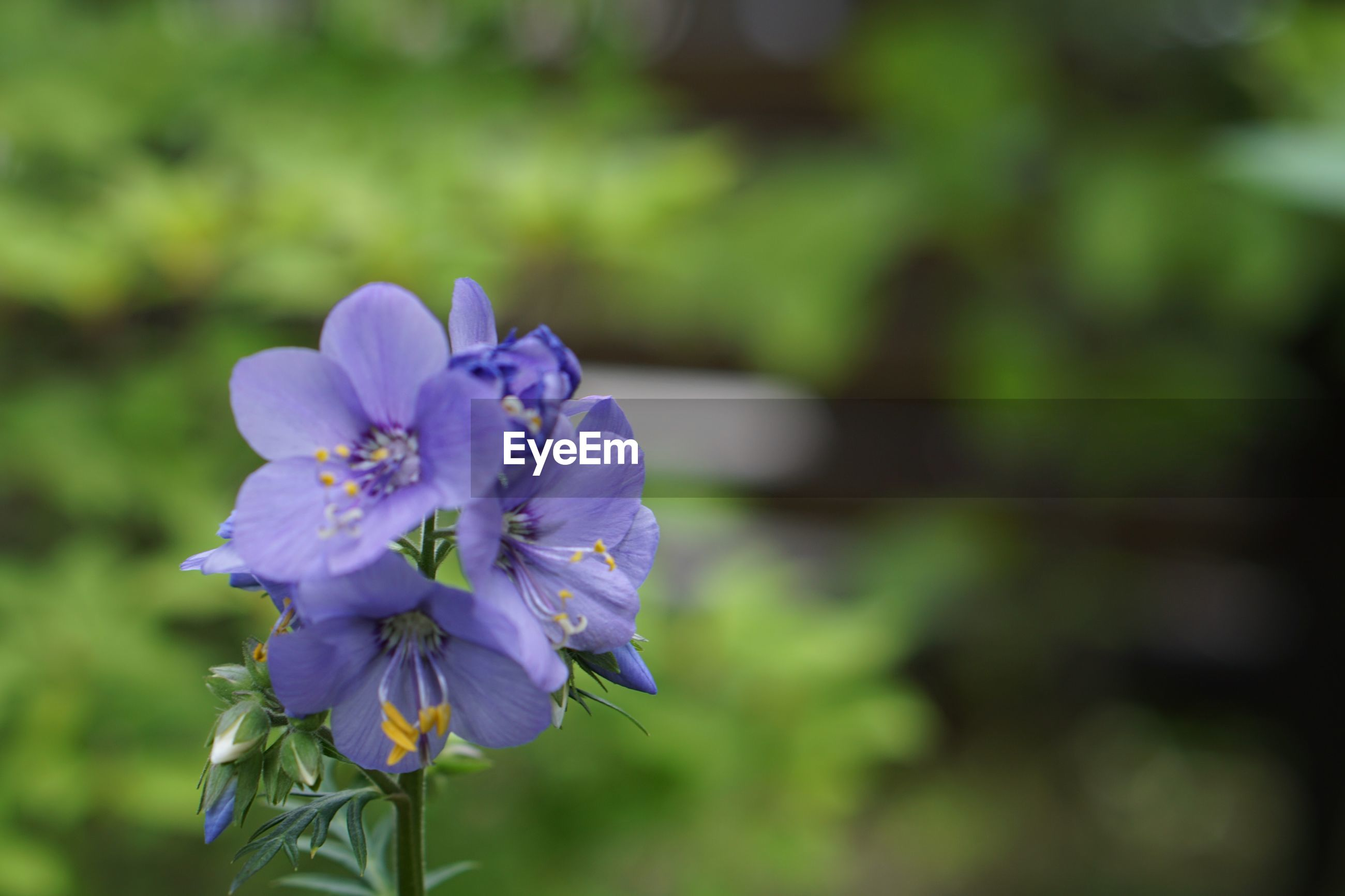 flowering plant, flower, vulnerability, fragility, plant, beauty in nature, freshness, petal, growth, inflorescence, close-up, flower head, nature, focus on foreground, purple, no people, day, outdoors, selective focus, beauty