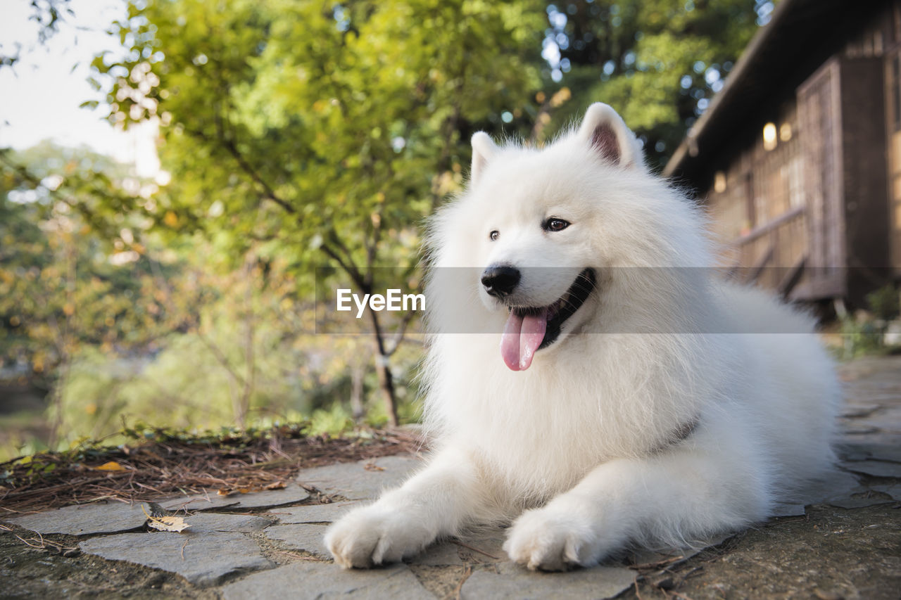 one animal, animal, animal themes, domestic, pets, vertebrate, domestic animals, dog, canine, mammal, white color, focus on foreground, pomeranian, looking away, day, plant, looking, mouth open, sticking out tongue, nature, no people, outdoors, animal tongue, animal head