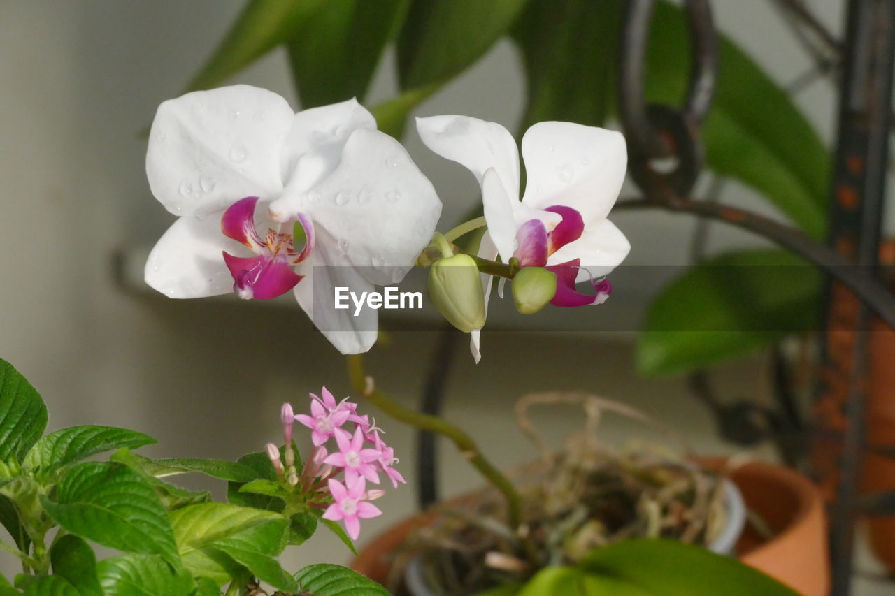 Close-up of white flowers growing on potted plant