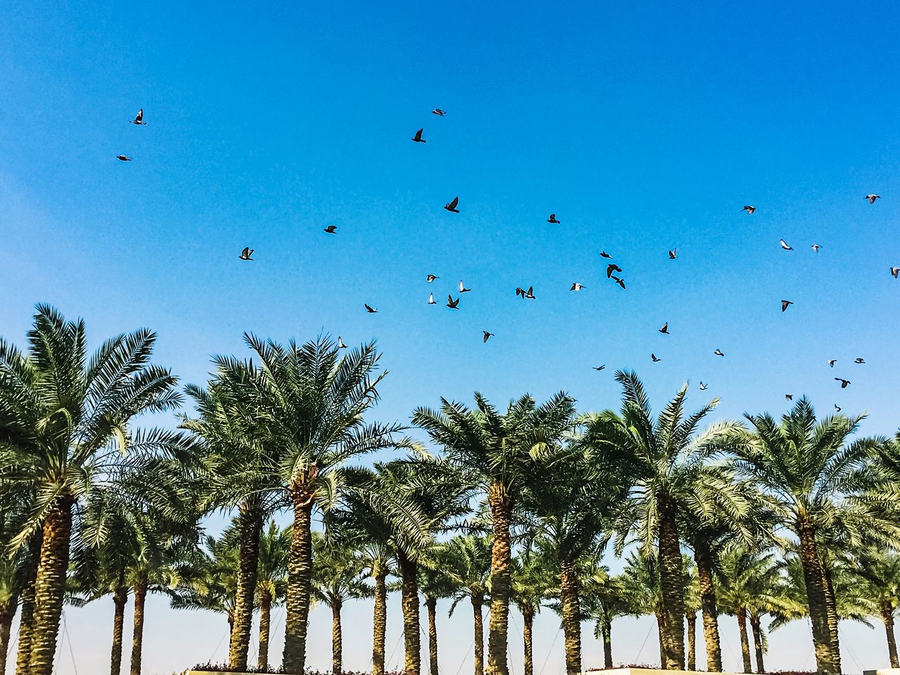 tree, sky, plant, tropical climate, large group of animals, palm tree, animal themes, animals in the wild, vertebrate, animal wildlife, animal, group of animals, bird, low angle view, nature, day, blue, no people, flock of birds, growth, outdoors