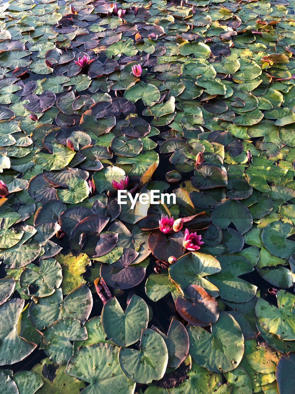 leaf, plant part, beauty in nature, plant, flower, growth, green color, nature, flowering plant, vulnerability, fragility, day, freshness, no people, high angle view, close-up, water lily, lake, petal, outdoors, floating on water, lotus water lily, flower head, leaves