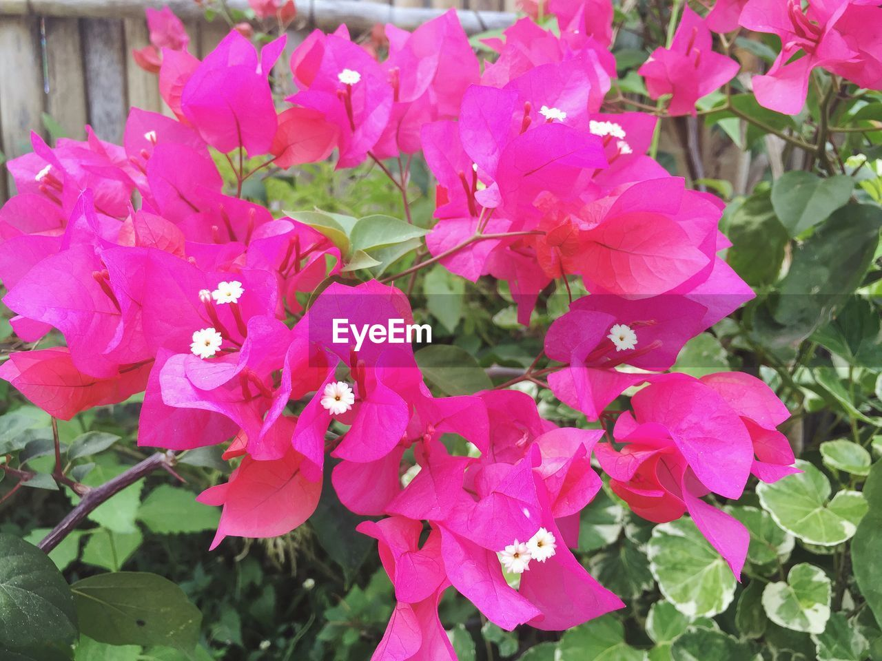 Bougainvilleas Blooming On Tree Outdoors
