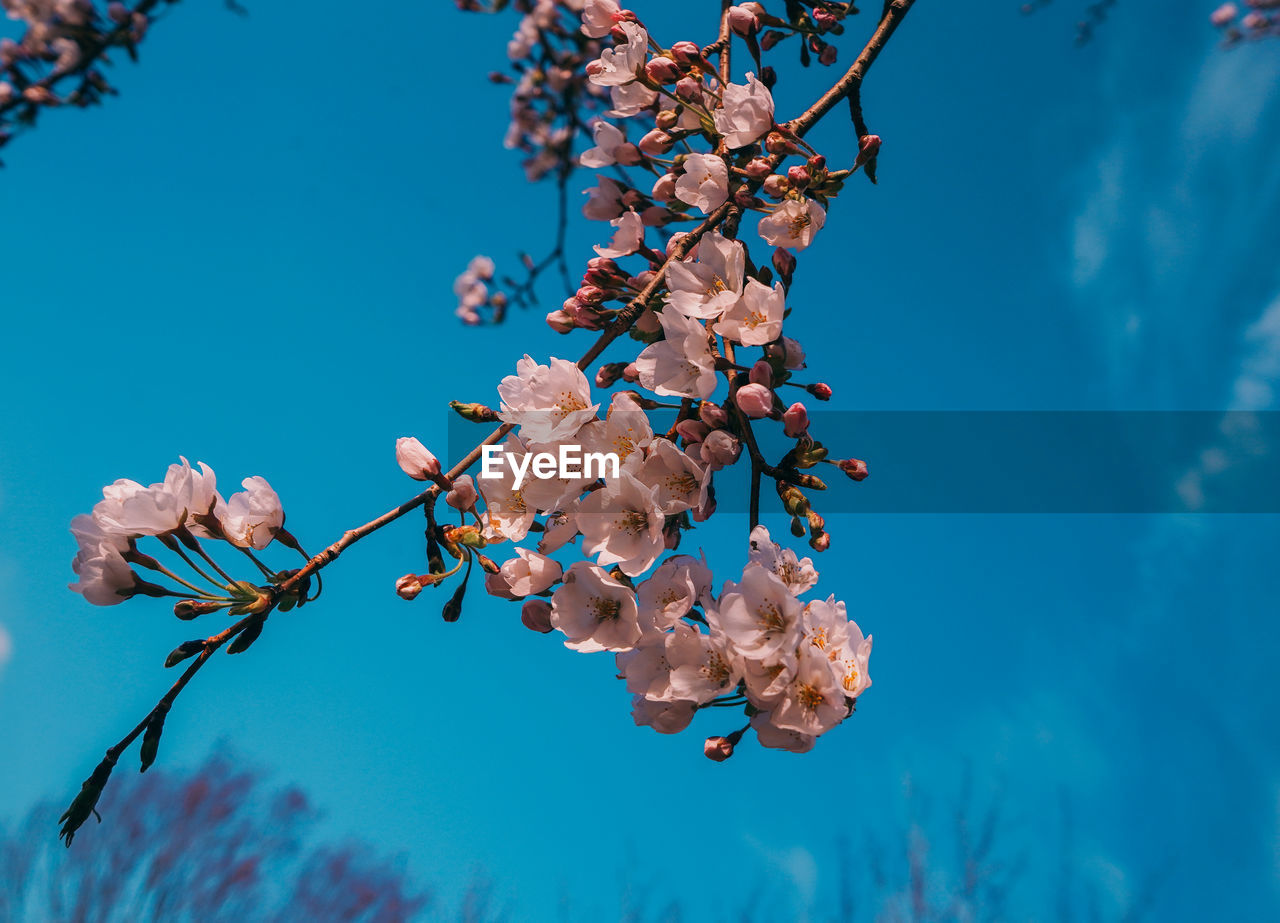 flower, flowering plant, plant, fragility, vulnerability, growth, beauty in nature, freshness, blue, low angle view, tree, nature, day, branch, no people, close-up, springtime, blossom, focus on foreground, pink color, cherry blossom, flower head, cherry tree