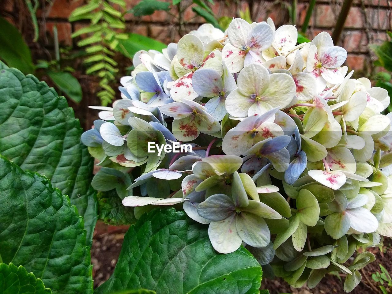 plant, beauty in nature, growth, flower, flowering plant, green color, leaf, plant part, freshness, vulnerability, close-up, nature, fragility, day, petal, inflorescence, no people, hydrangea, flower head, focus on foreground, outdoors, springtime, bunch of flowers