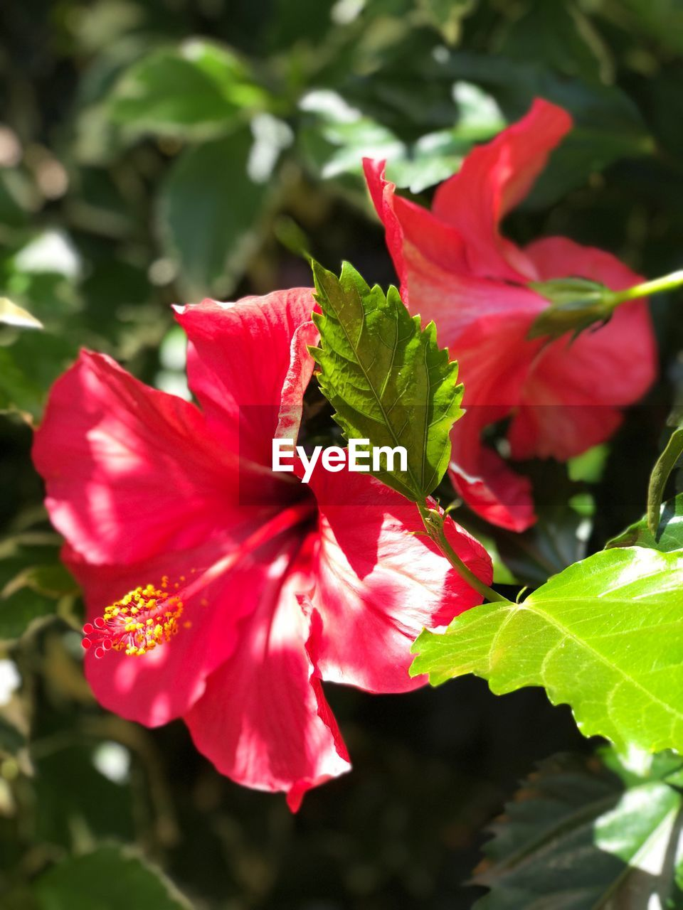 leaf, growth, fragility, flower, petal, nature, beauty in nature, plant, freshness, green color, outdoors, red, day, flower head, no people, hibiscus, pink color, close-up, blooming