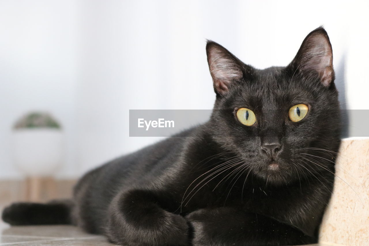 cat, domestic, domestic cat, feline, pets, mammal, domestic animals, portrait, one animal, looking at camera, vertebrate, black color, focus on foreground, close-up, whisker, indoors, no people, yellow eyes, animal eye