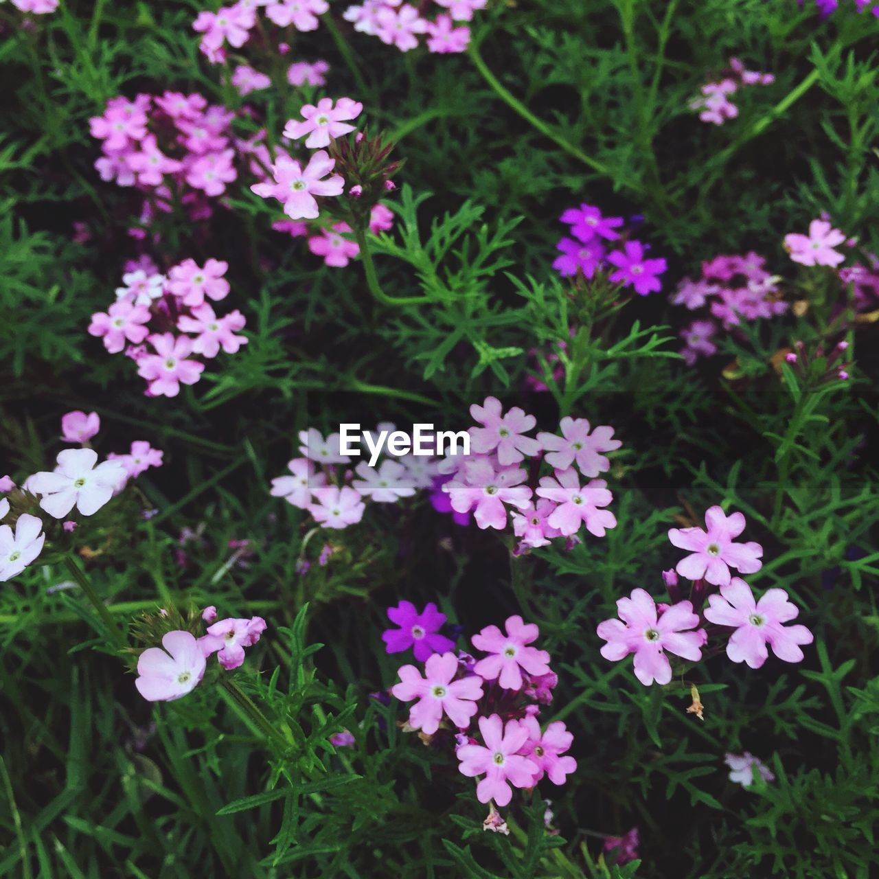 flower, growth, plant, fragility, beauty in nature, nature, freshness, petal, outdoors, no people, day, blooming, focus on foreground, pink color, flower head, close-up, periwinkle