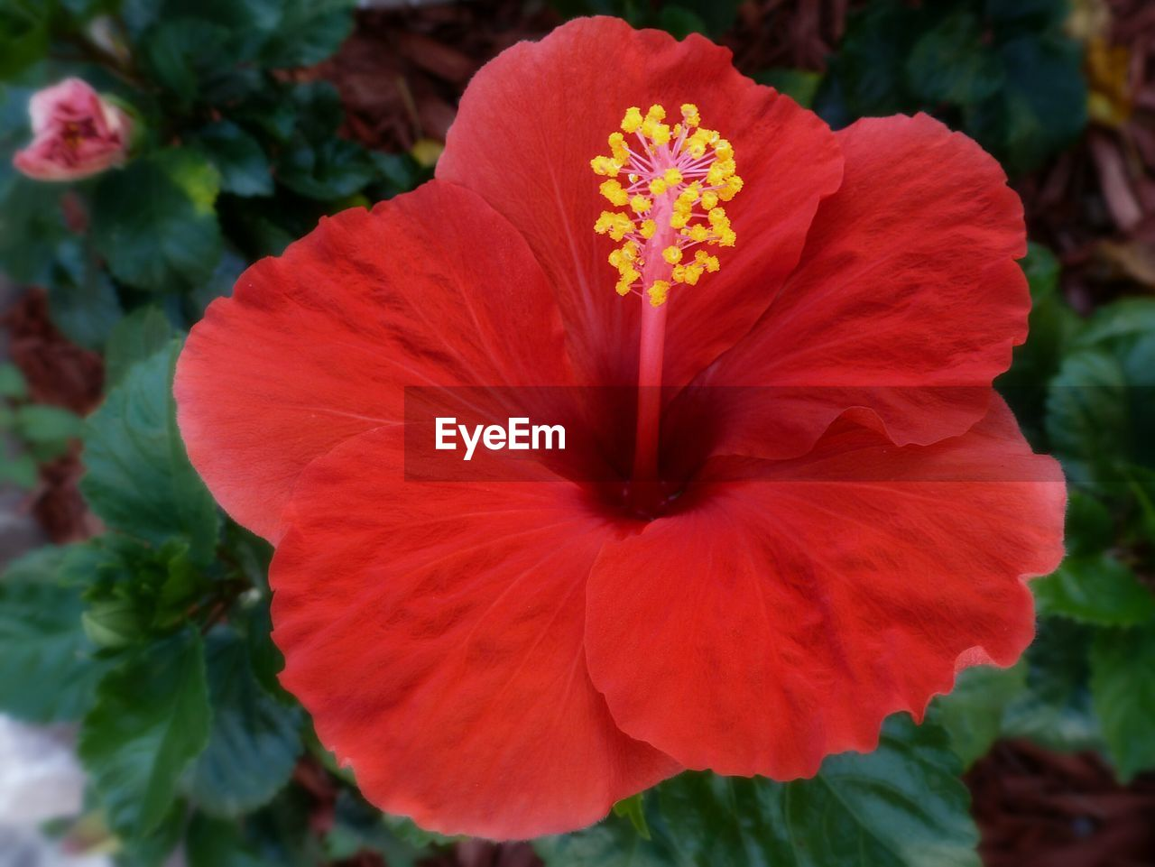 flower, petal, flower head, fragility, beauty in nature, freshness, growth, nature, plant, blooming, hibiscus, close-up, red, day, no people, outdoors, petunia