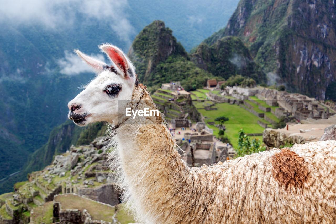 Side View Of Llama At Machu Picchu