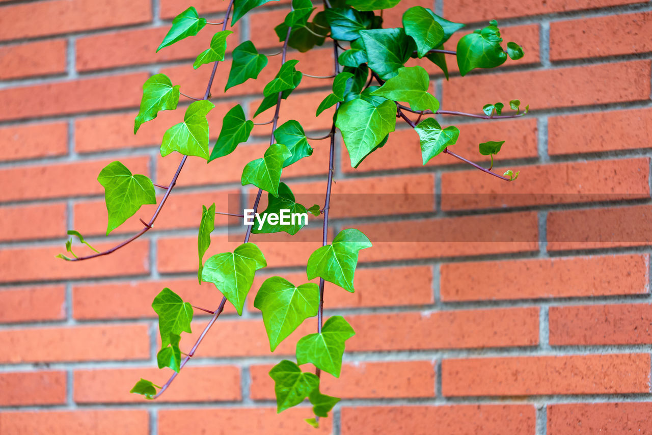 brick, leaf, plant part, brick wall, wall, wall - building feature, growth, plant, green color, nature, close-up, beauty in nature, built structure, architecture, no people, day, fragility, freshness, vulnerability, ivy, outdoors, leaves