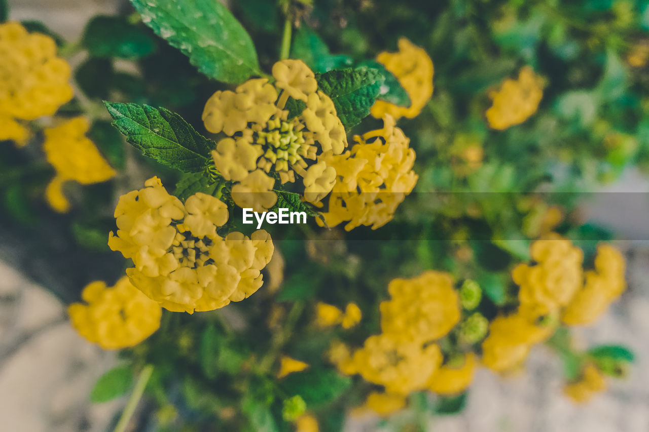 yellow, flower, plant, beauty in nature, nature, growth, fragility, freshness, green color, petal, outdoors, no people, day, leaf, close-up, flower head, blooming, lantana camara