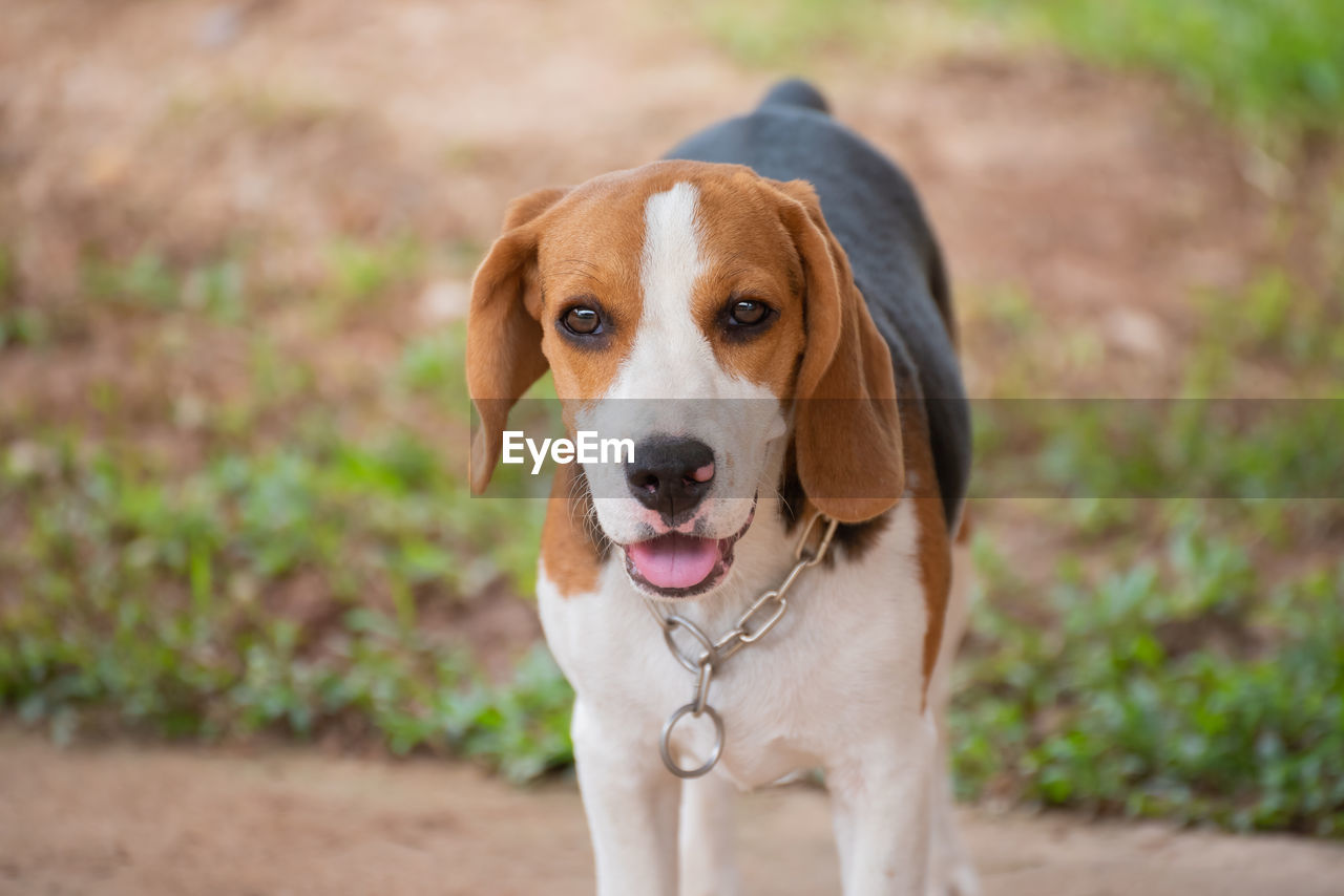 one animal, dog, canine, pets, domestic animals, mammal, domestic, animal themes, animal, portrait, looking at camera, focus on foreground, vertebrate, day, no people, beagle, pet collar, brown, collar, close-up, jack russell terrier
