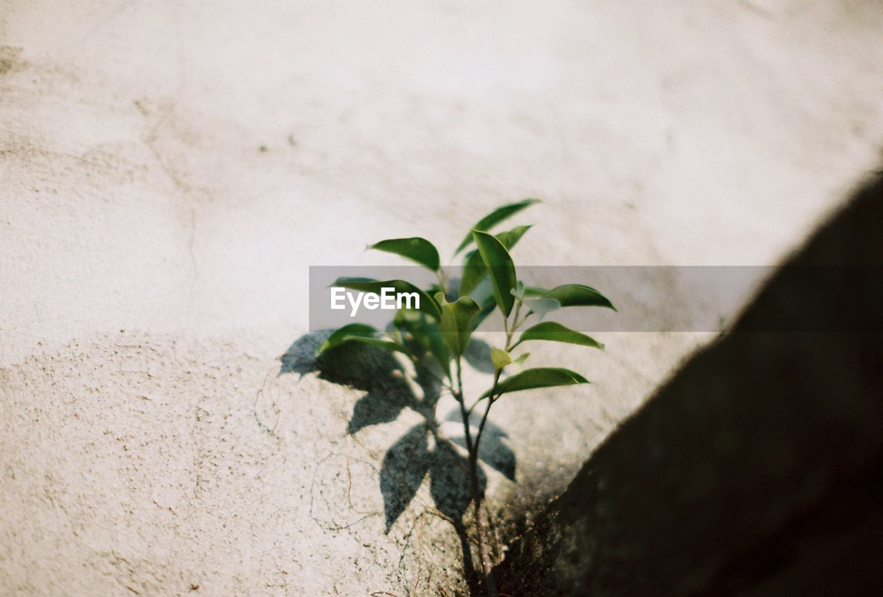 High angle view of fresh green plant by rock with shadow