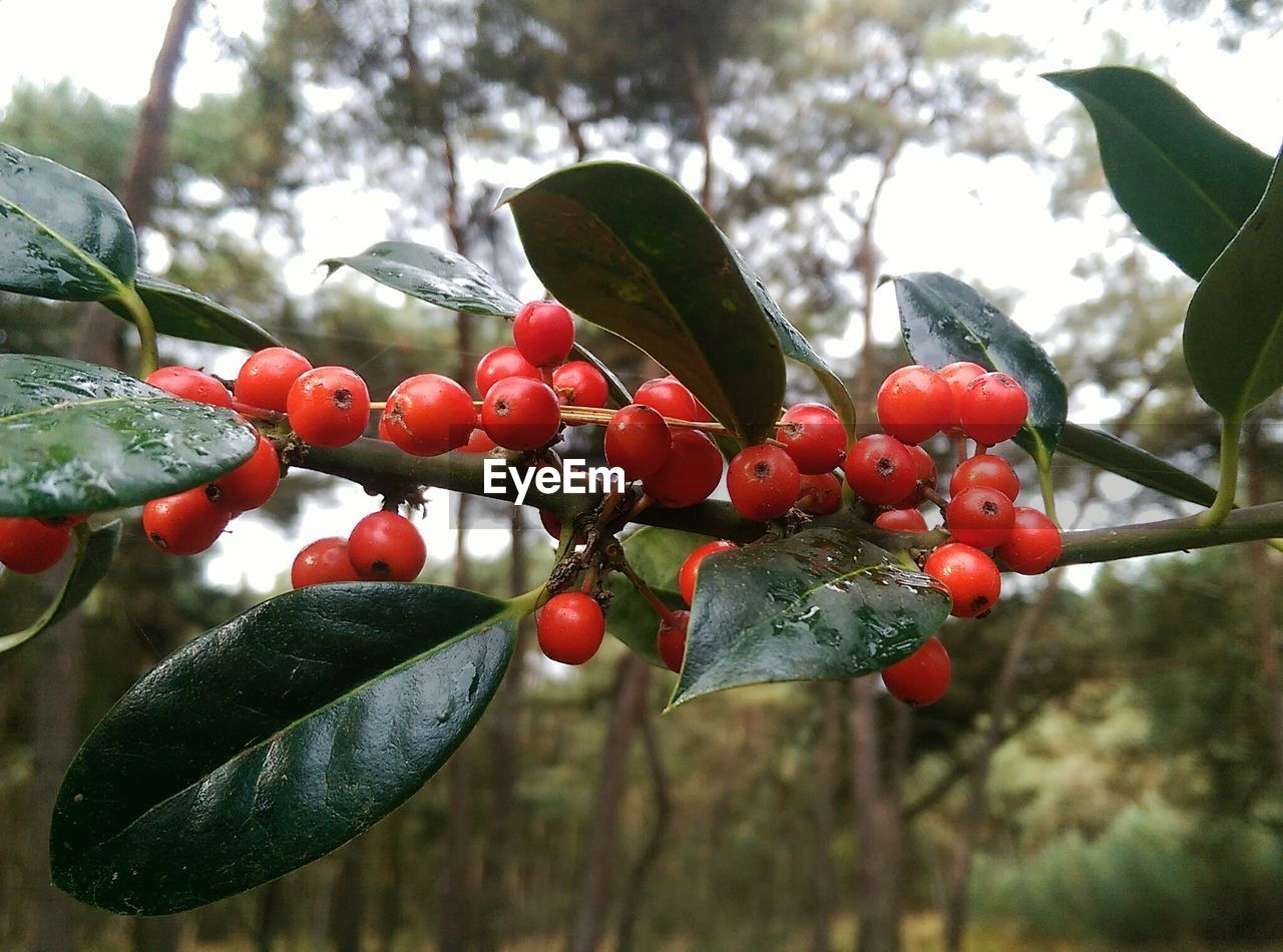 fruit, food and drink, growth, leaf, tree, food, day, growing, red, focus on foreground, nature, outdoors, healthy eating, no people, green color, close-up, freshness, plant, branch, beauty in nature, sky