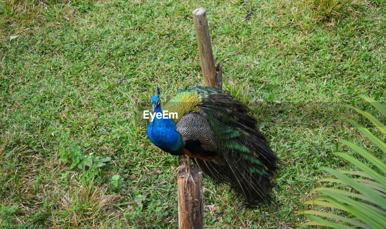 bird, animal themes, animal, vertebrate, peacock, animal wildlife, one animal, animals in the wild, plant, green color, day, no people, land, grass, nature, male animal, field, beauty in nature, blue, tree, fanned out