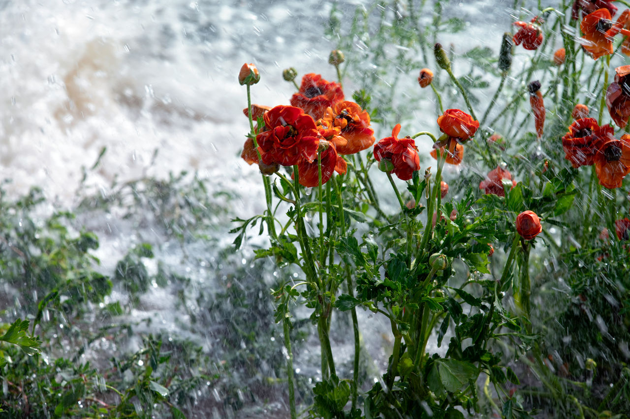 CLOSE-UP OF RED FLOWERING PLANTS DURING RAINY SEASON