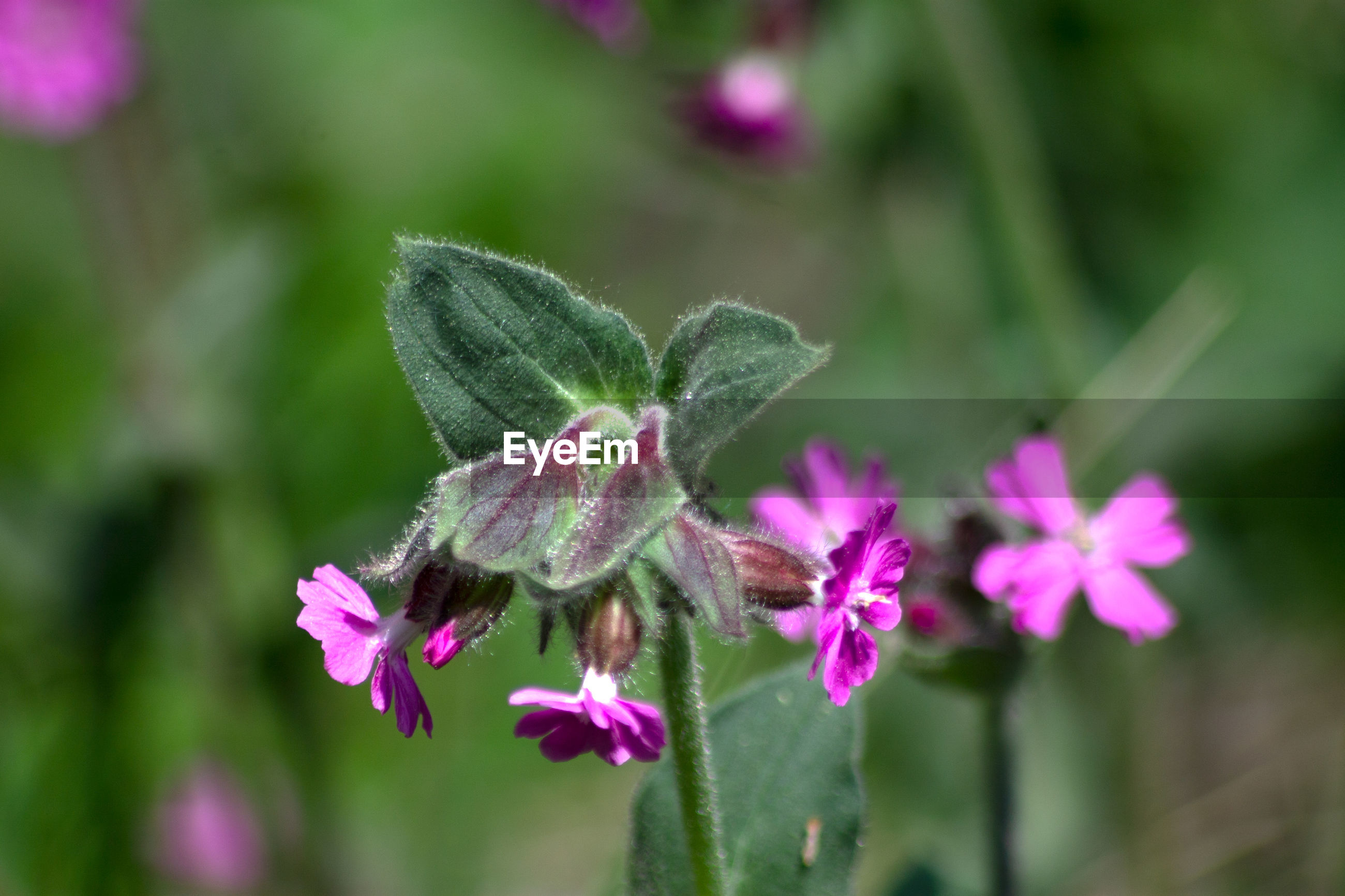 CLOSE-UP OF PINK POLLINATING ON PURPLE FLOWERING PLANT