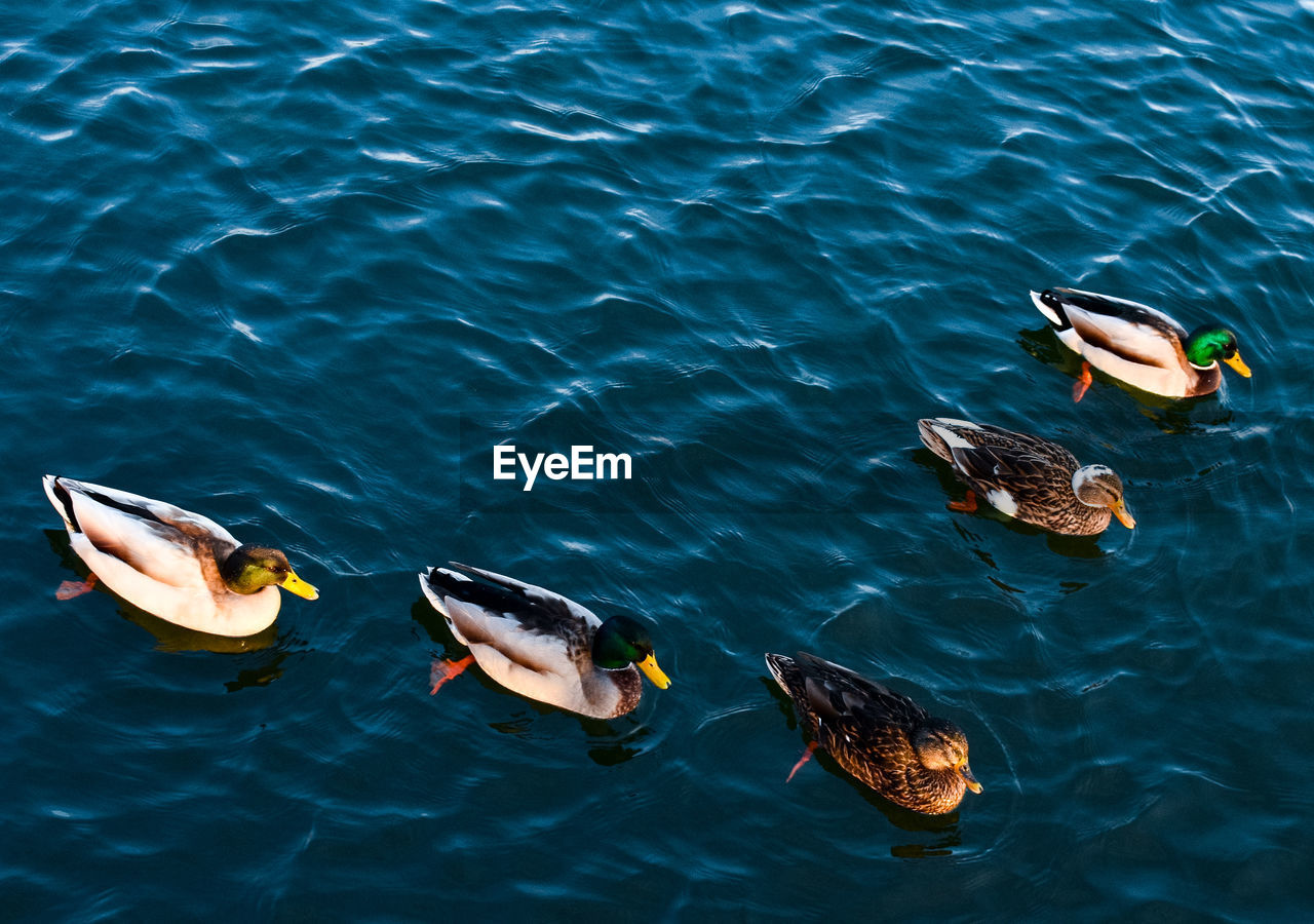 HIGH ANGLE VIEW OF DUCKS SWIMMING IN SEA