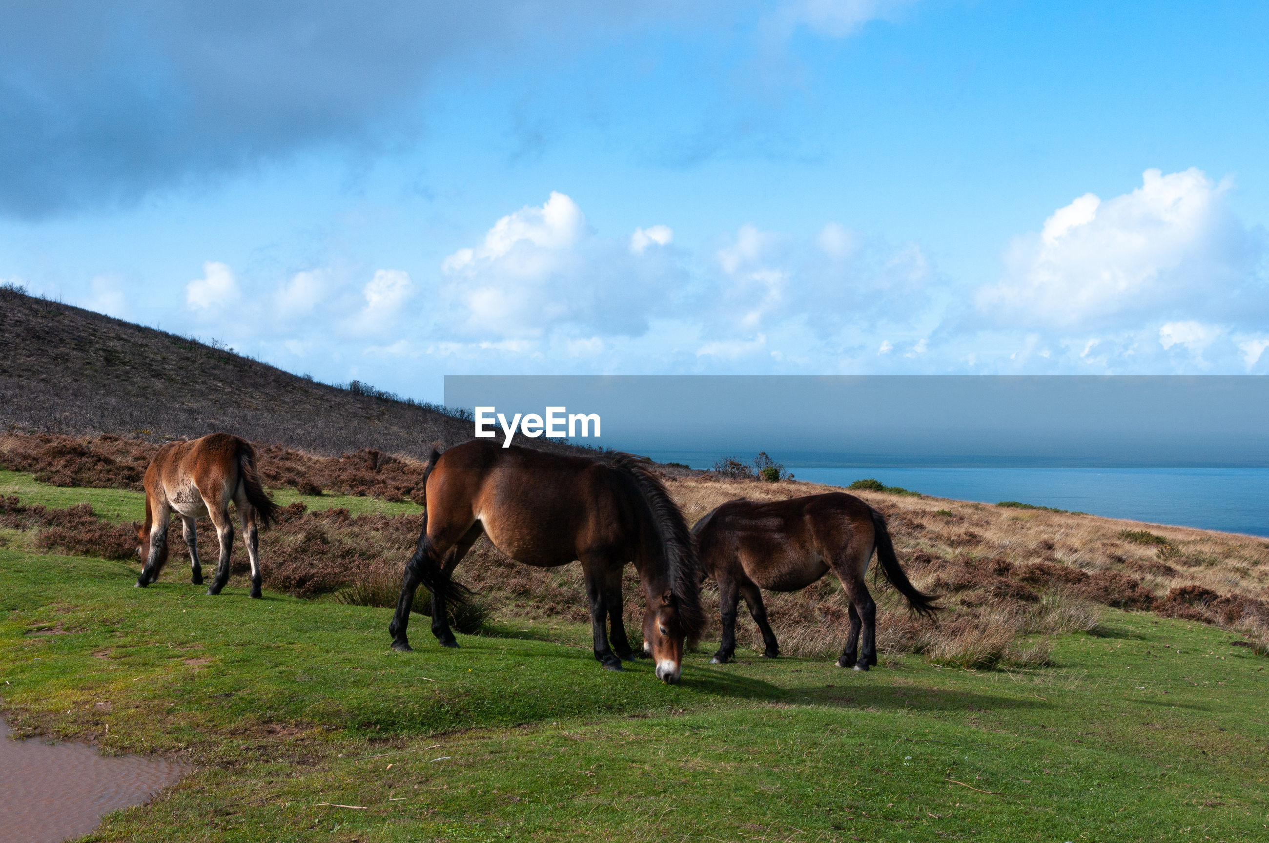 HORSES ON FIELD BY SEA