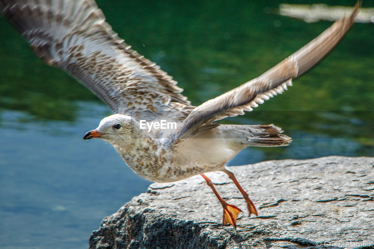 animal themes, bird, animal, vertebrate, animals in the wild, animal wildlife, one animal, flying, spread wings, focus on foreground, nature, day, water, no people, rock, rock - object, solid, outdoors, lake, animal wing, seagull, flapping
