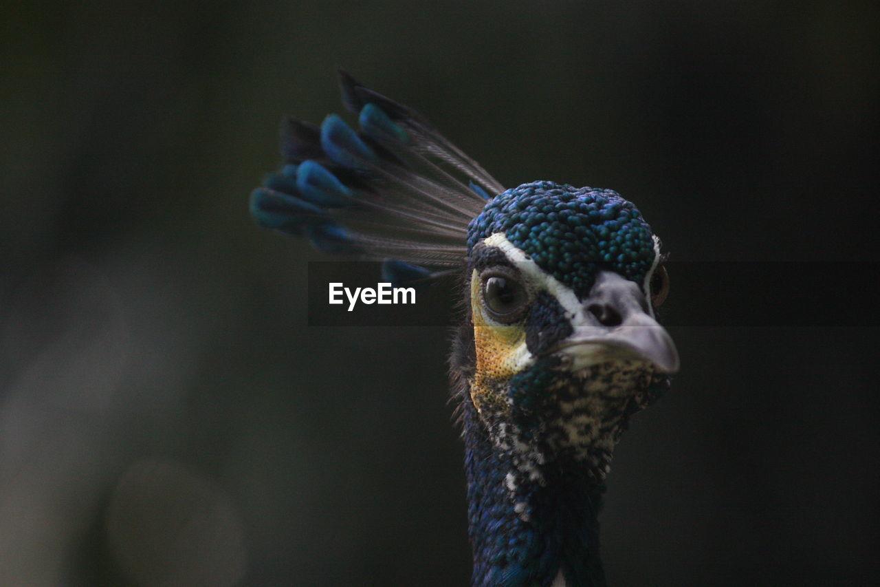 Close-Up Portrait Of Peahen