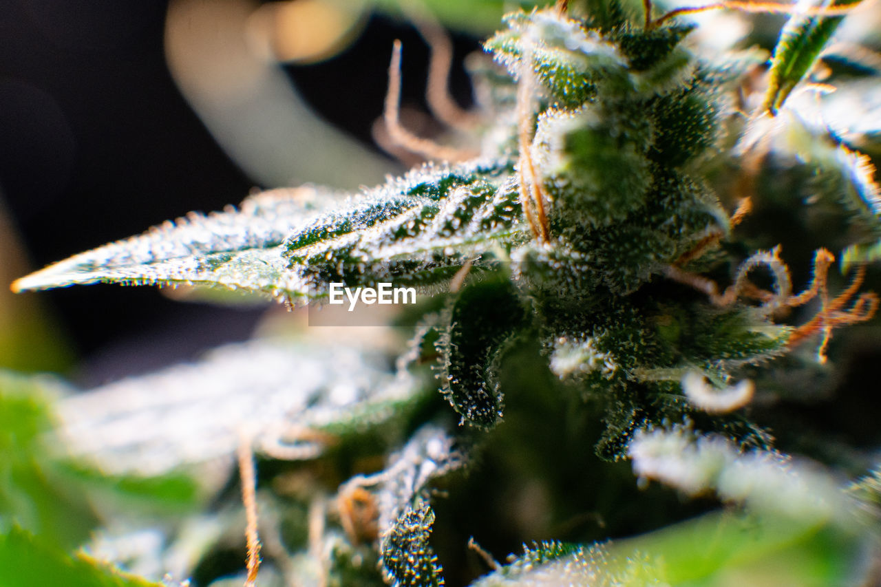 Close-Up Of Cannabis Plant Growing Outdoors