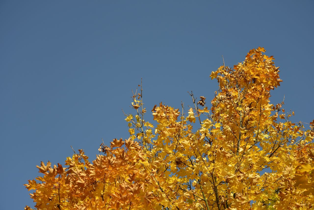 plant, sky, flower, clear sky, growth, flowering plant, beauty in nature, low angle view, fragility, tree, yellow, copy space, nature, no people, vulnerability, freshness, blue, day, outdoors, branch, springtime, change, cherry blossom