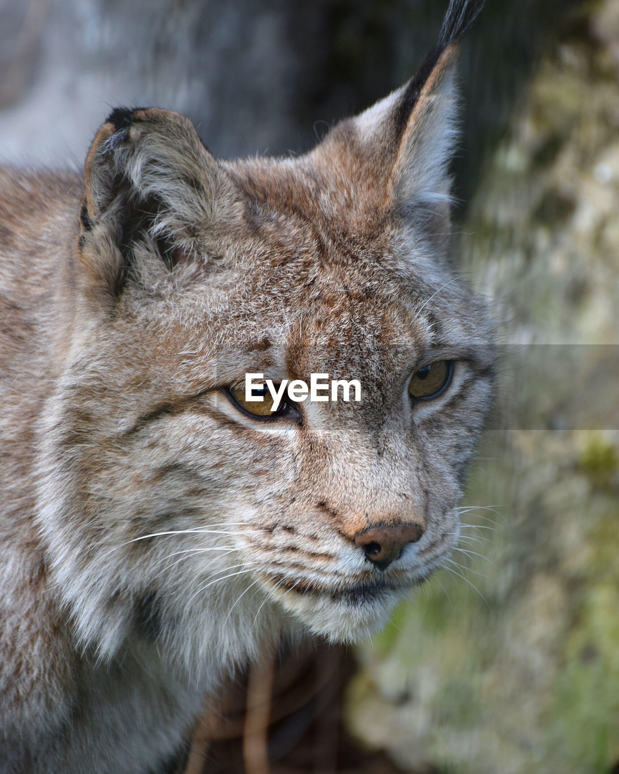 Close-up of lynx cat looking away