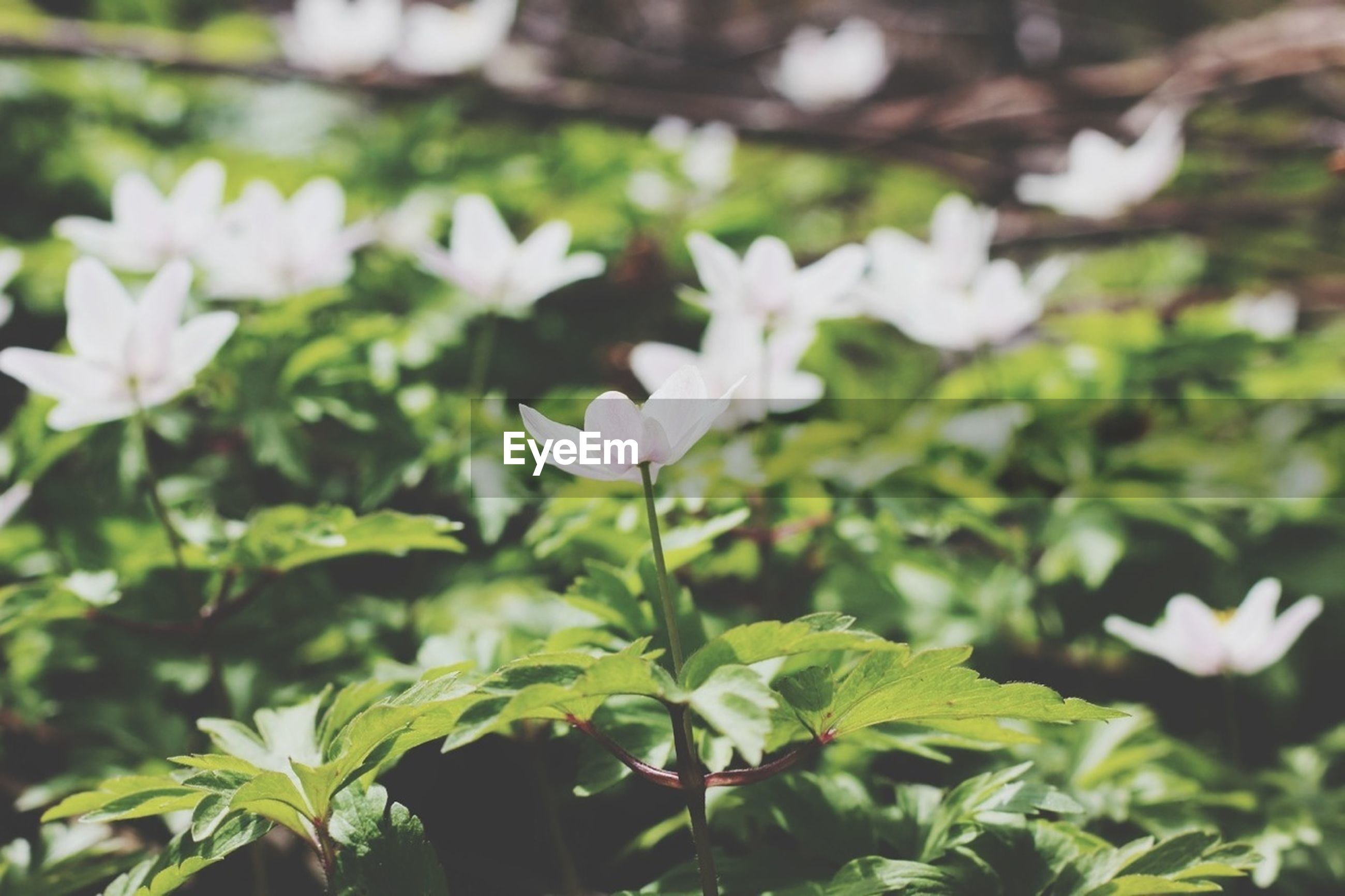 flower, freshness, growth, petal, fragility, flower head, beauty in nature, blooming, white color, focus on foreground, nature, plant, in bloom, close-up, stem, leaf, park - man made space, blossom, green color, outdoors