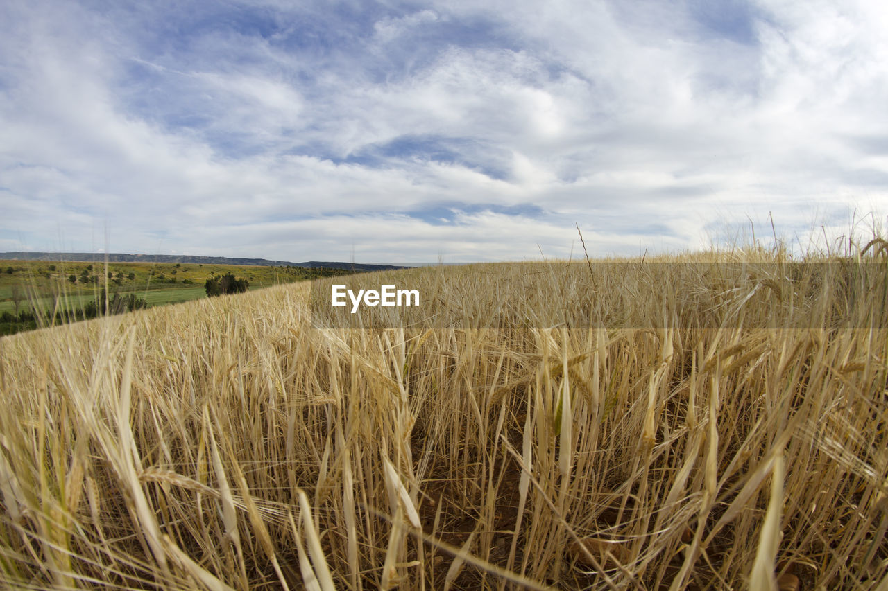 field, landscape, tranquility, agriculture, sky, nature, tranquil scene, crop, growth, beauty in nature, cloud - sky, day, no people, rural scene, scenics, grass, outdoors, cereal plant, wheat