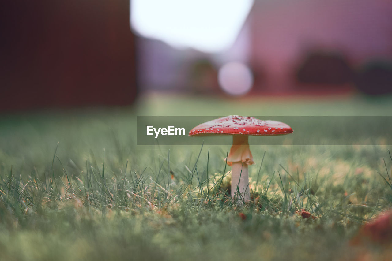 mushroom, fungus, plant, vegetable, land, growth, food, selective focus, field, grass, nature, surface level, fly agaric mushroom, close-up, toadstool, beauty in nature, day, outdoors, no people, freshness