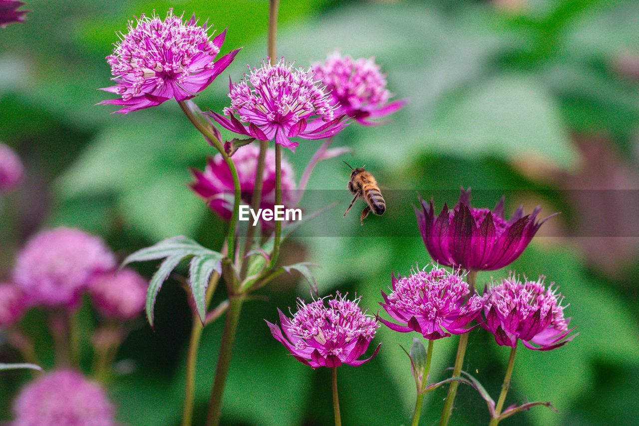 flowering plant, flower, fragility, vulnerability, plant, beauty in nature, freshness, growth, petal, animals in the wild, close-up, flower head, invertebrate, animal wildlife, animal themes, pink color, one animal, insect, animal, inflorescence, no people, pollination, purple, outdoors, pollen