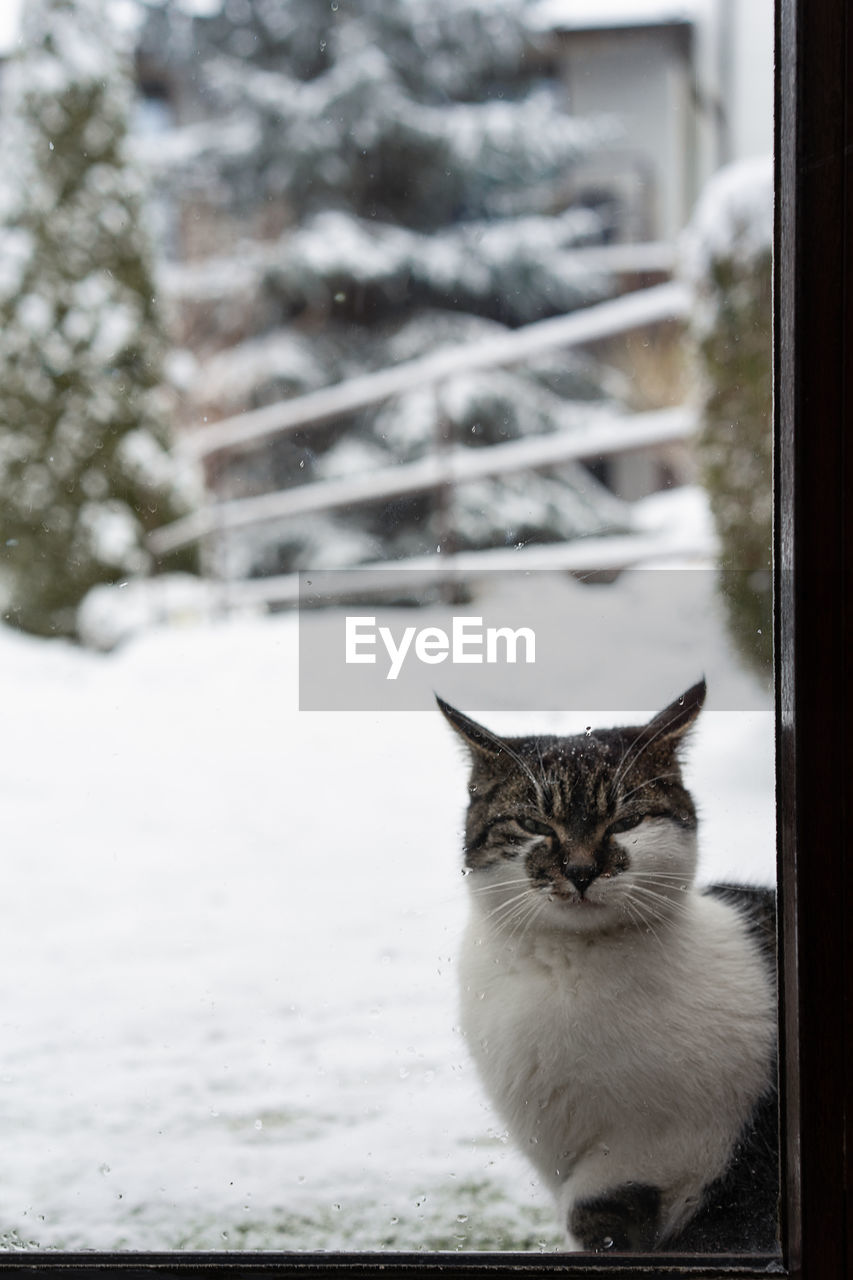 cat, domestic, domestic cat, domestic animals, mammal, pets, feline, animal themes, animal, vertebrate, one animal, focus on foreground, winter, snow, cold temperature, no people, day, window, portrait, whisker, snowing