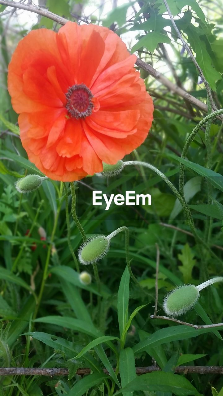 Close-up of red poppy flower by green plants