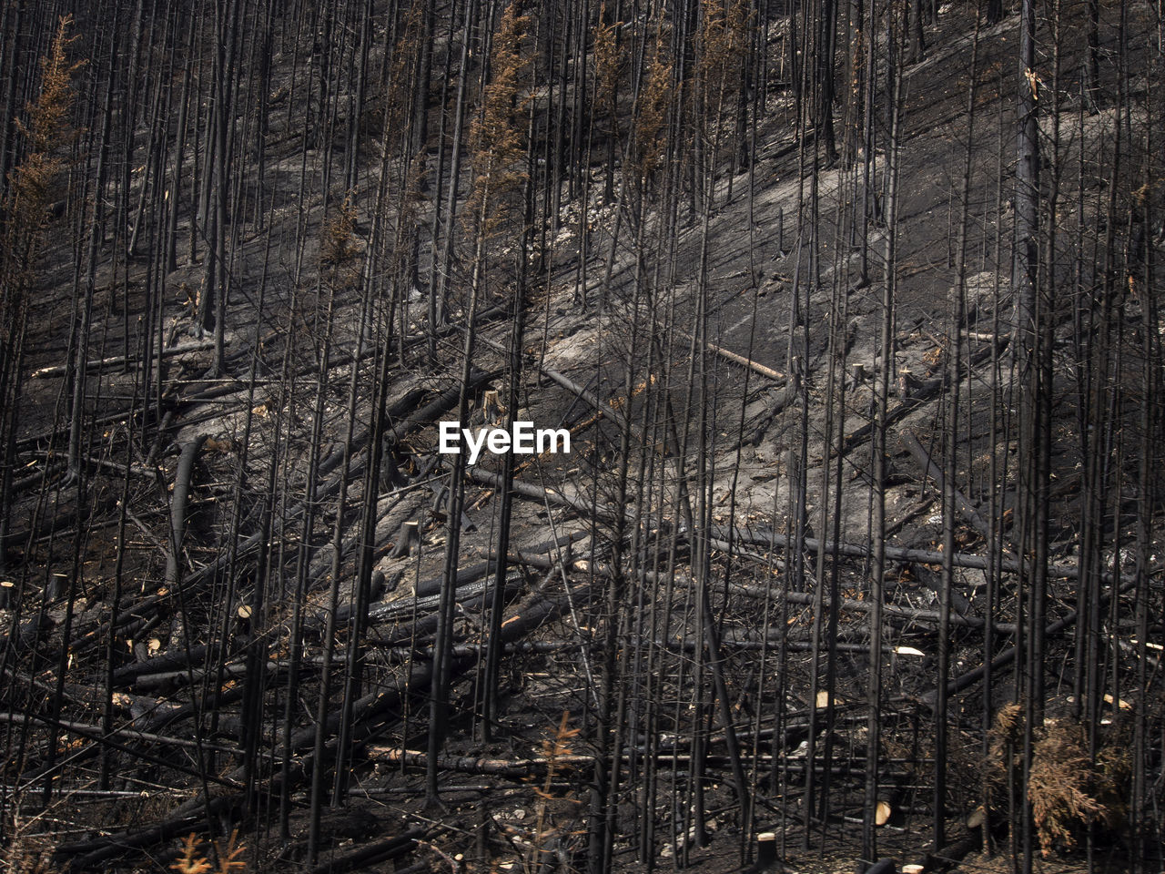 Burnt Trees On Mountain In Forest