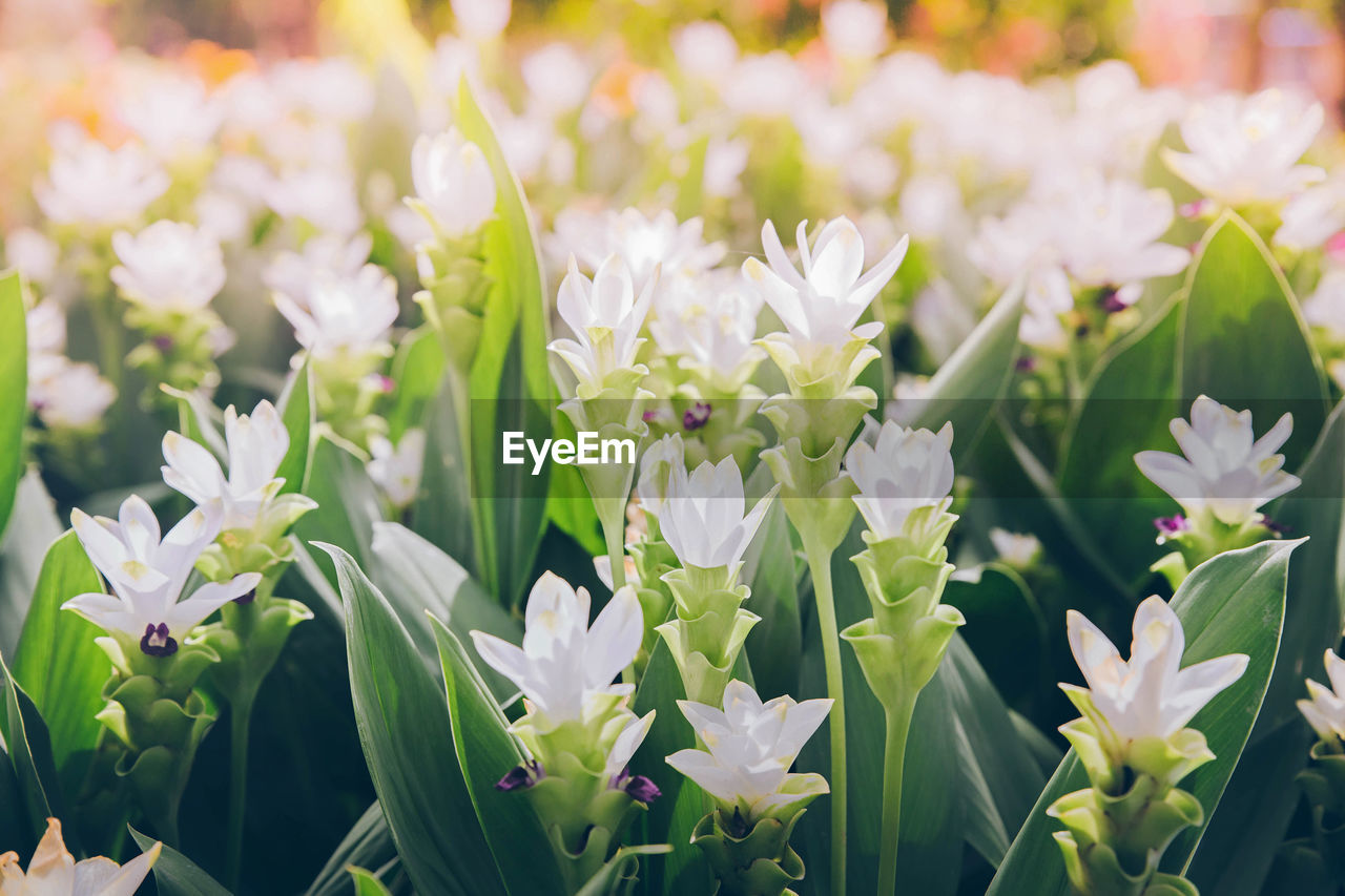 flowering plant, flower, vulnerability, beauty in nature, freshness, fragility, plant, growth, close-up, petal, white color, flower head, inflorescence, focus on foreground, no people, nature, day, leaf, green color, plant part, outdoors, springtime, flowerbed