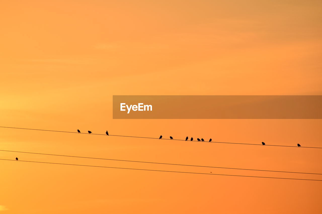 vertebrate, animal wildlife, sunset, animal, group of animals, animals in the wild, animal themes, sky, cable, bird, orange color, large group of animals, silhouette, perching, low angle view, electricity, power line, beauty in nature, flock of birds, nature, no people, power supply