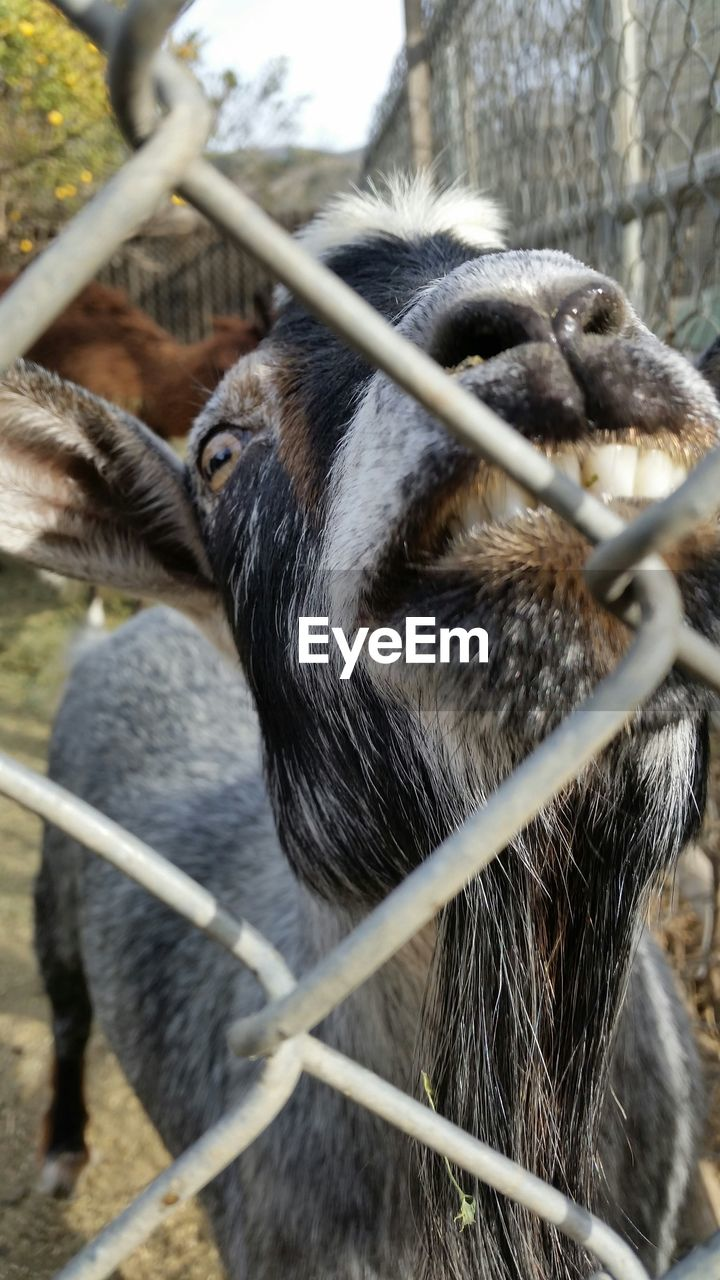 Close-Up Of Goat Seen Through Chainlink Fence