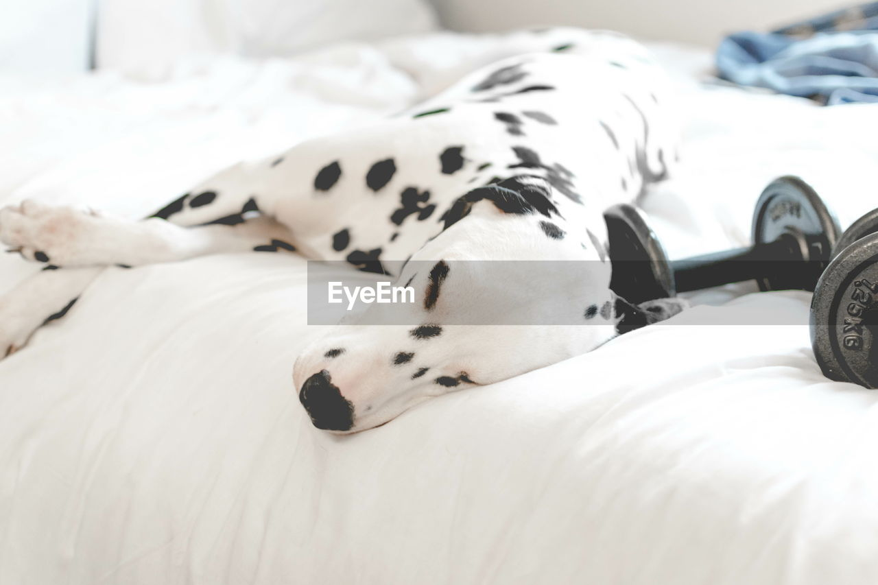 Dalmatian Dog With Dumbbells On Bed