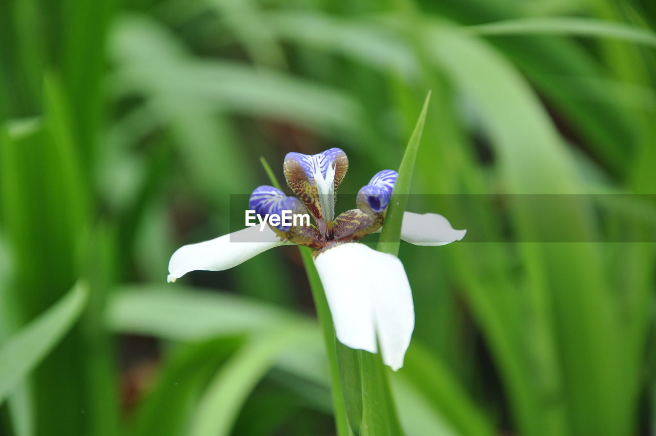 Close-Up Of Purple Iris Flower Blooming Outdoors
