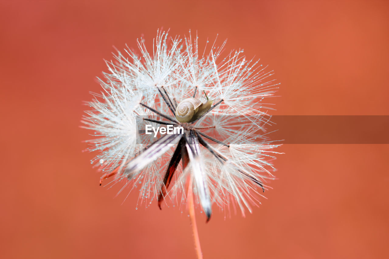 fragility, close-up, vulnerability, beauty in nature, freshness, flower, flowering plant, plant, no people, inflorescence, flower head, dandelion, nature, dandelion seed, focus on foreground, day, growth, spiked, red, softness