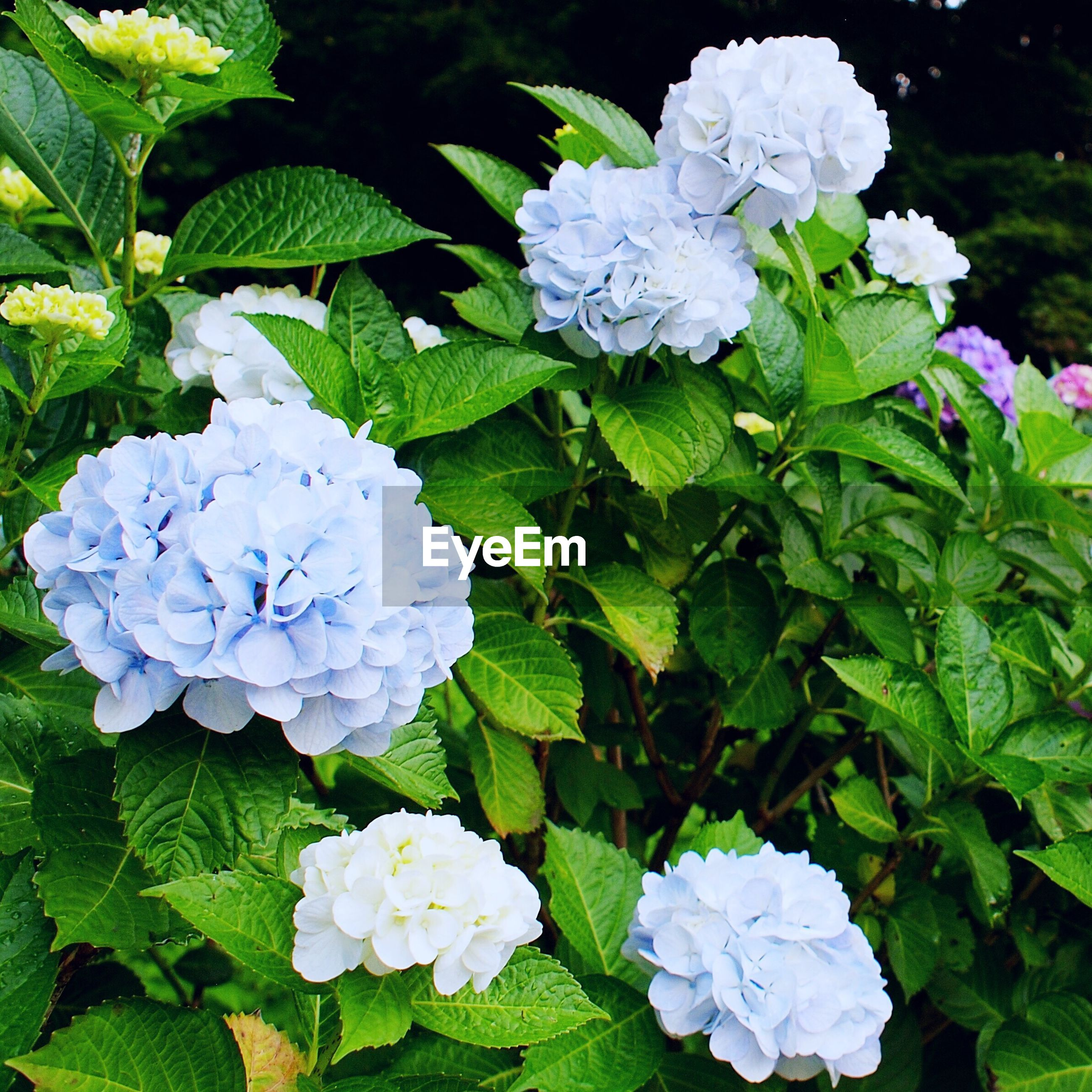 flower, growth, leaf, nature, beauty in nature, hydrangea, green color, plant, petal, freshness, blooming, flower head, no people, outdoors, fragility, day, close-up