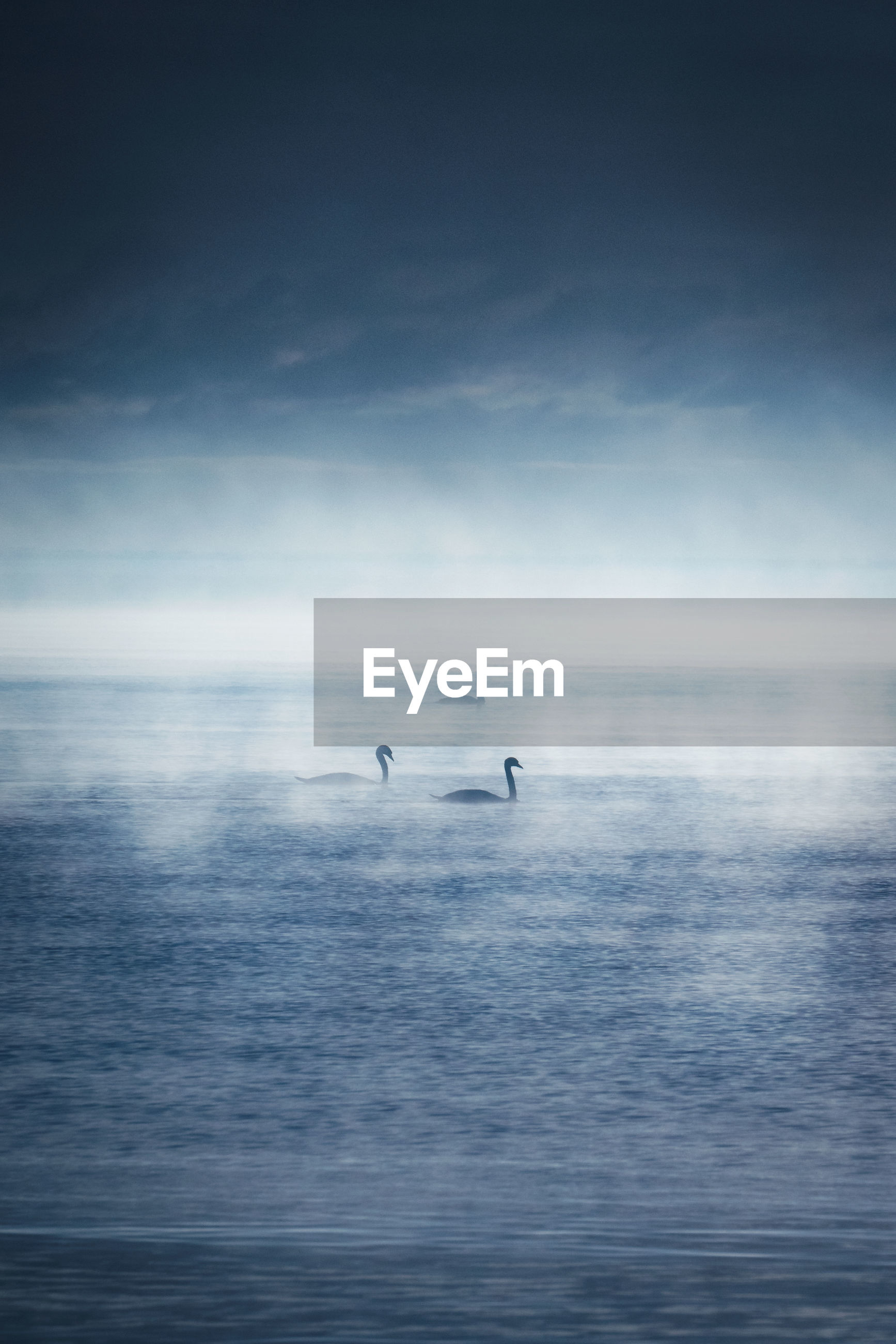 Swans swimming in lake against sky during foggy weather at dawn