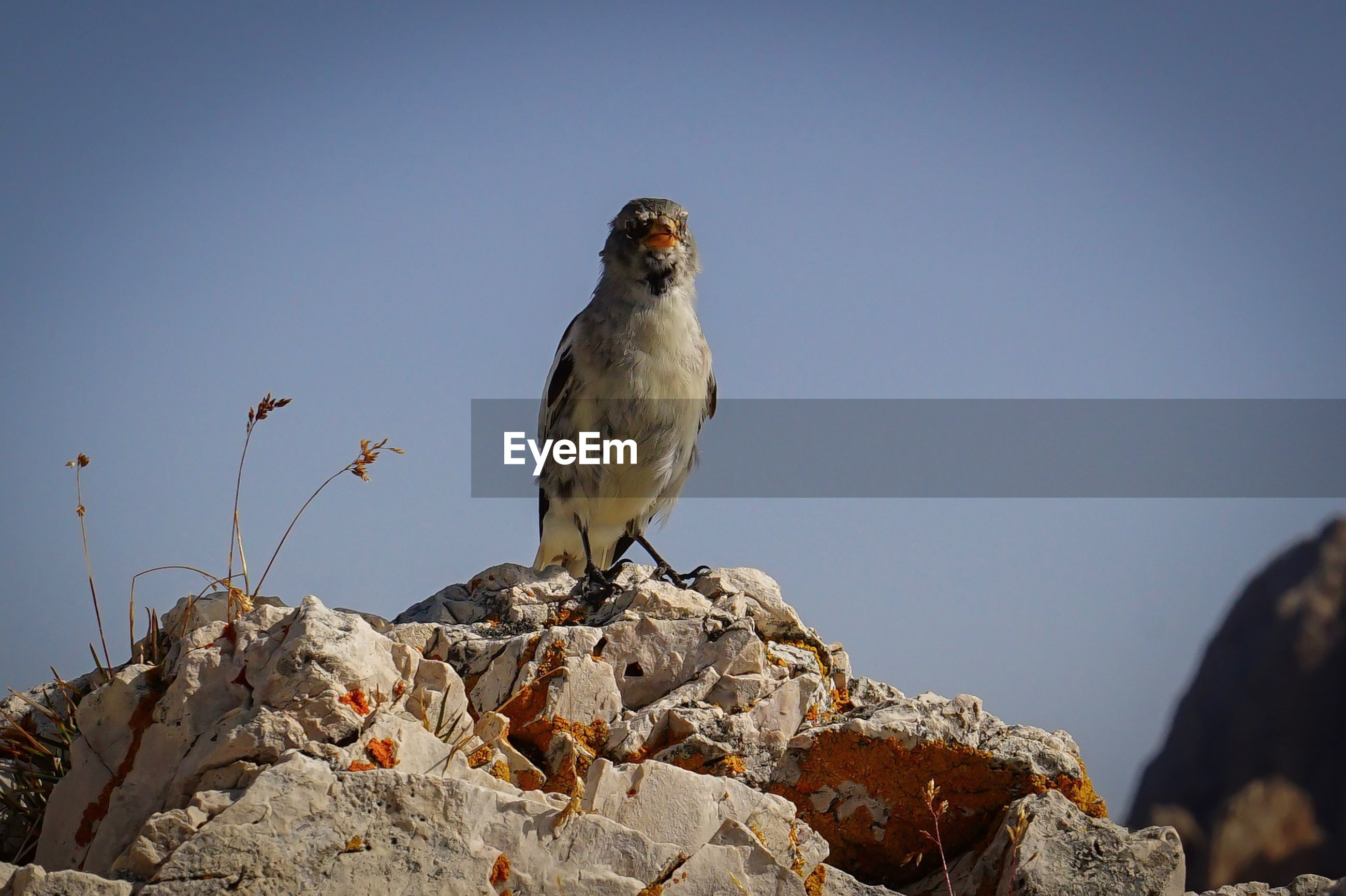 CLOSE-UP OF BIRD PERCHING ON ROCK AGAINST CLEAR SKY