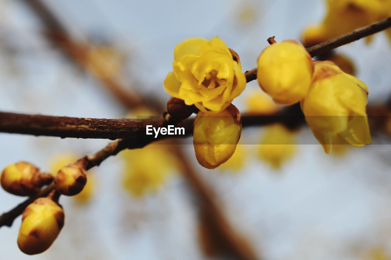 plant, yellow, flower, flowering plant, vulnerability, close-up, growth, fragility, beauty in nature, focus on foreground, tree, freshness, branch, no people, selective focus, nature, day, outdoors, plant stem, bud, flower head