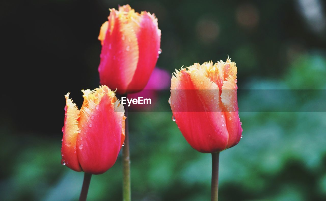 Close-up of tulips blooming in garden